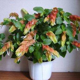 Комнатные растения - Белопероне, 0