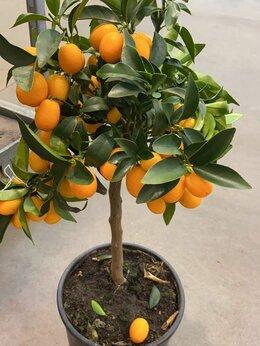 Комнатные растения - Кумкват с плодами 65 см, 0