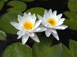Семена - Кувшинки  ( Нимфеи) белого цвета., 0