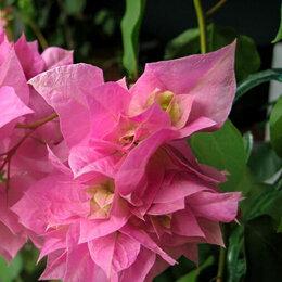 Комнатные растения - Бугенвиллия Double Pink махровая, 0
