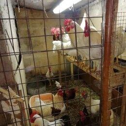 Сельскохозяйственные животные и птицы - Петухи, 0