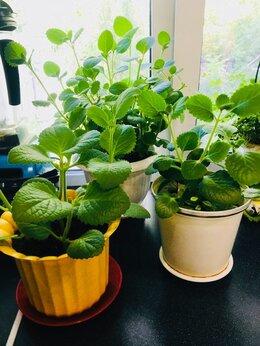 Комнатные растения - Домашняя мята плектрантус, 0