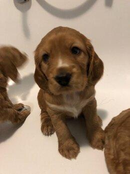 Собаки - Щенки кокер спаниеля, 0