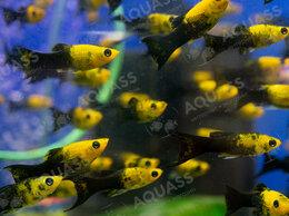 Аквариумные рыбки - Моллинезия черно-желтая лира, 0