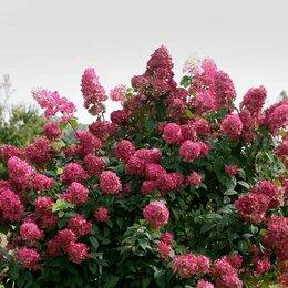 Рассада, саженцы, кустарники, деревья - Саженцы Гортензия метельчатая ярко-розовая,…, 0
