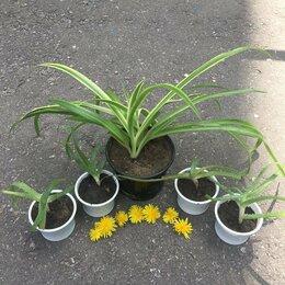 Комнатные растения - Хлорофитум полосатый, алое, 0
