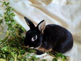 Кролики - Карликовый кролик чёрный оттер, 0