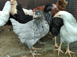 Птицы - Куры несушки молодые доминант, 0
