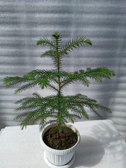 Комнатные растения - Араукария, комнатная ель, 0