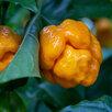 Супер острые соусы Moon Hot Saucе и перцы Moon Hot Peppers по цене не указана - Продукты, фото 15