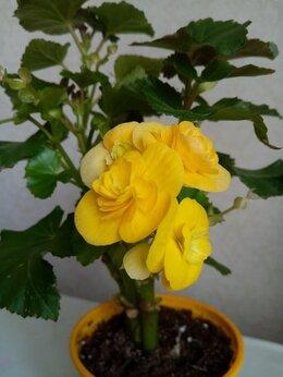 Комнатные растения - Бгония Элатиор, 0