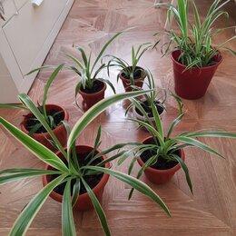 Комнатные растения - Цветы хлорофитум, 0