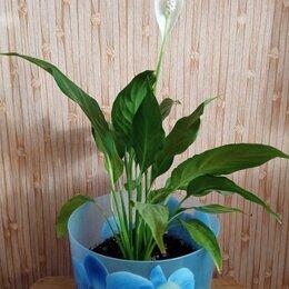 Комнатные растения - Цветок Женское счастье, 0