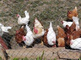 Птицы - Куры несушки. Цыплята бройлеры. Индюшата.…, 0