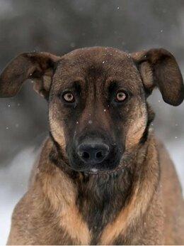 Собаки - Собака Арабика, 0