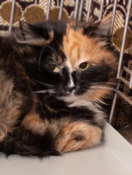 """Кошки - Осторожная малышка Линдси окраса """"Калико"""", 0"""