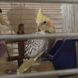 Птицы - Домашние попугаи корелла, птенцы и взрослые., 0
