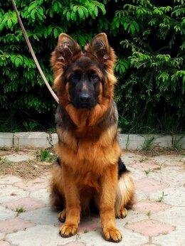Собаки - Длинношерстная немецкая овчарка (РКФ), 0