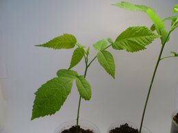 Рассада, саженцы, кустарники, деревья - Саженцы ореха маньчжурского, 0