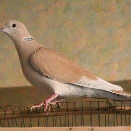 Птицы - Египетская Смеющаяся Горлица, 0