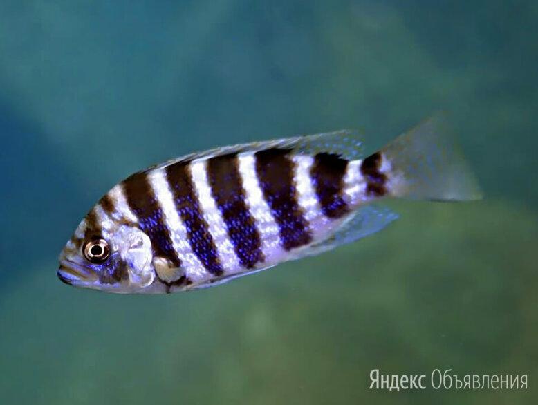 Периссодус Страелени по цене 450₽ - Аквариумные рыбки, фото 0