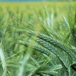 Семена - Продам семена яровая тритикале - сорт ЛОТАС (ОС-РС), 0