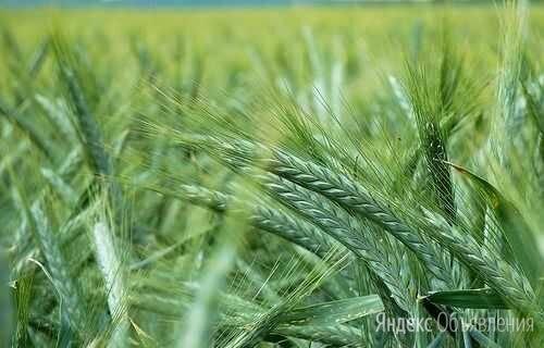 Продам семена яровая тритикале - сорт ЛОТАС (ОС-РС) по цене 22₽ - Семена, фото 0