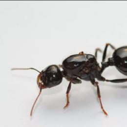 Аквариумные рыбки - муравей жнец messor structor, 0