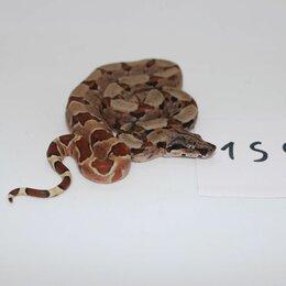 Рептилии - Удав императорский, S, Salmon, 0