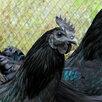 Люйкэданьцзи черные по цене 2500₽ - Сельскохозяйственные животные и птицы, фото 0