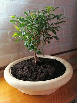 Комнатные растения - комнатные растения,фикусы для бонсаев, 0
