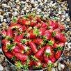 Клубника Купчиха по цене 70₽ - Рассада, саженцы, кустарники, деревья, фото 0