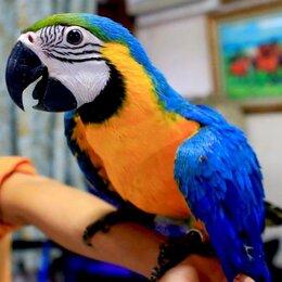 Птицы - Попугай сине желтый ара - ручные птенцы из…, 0