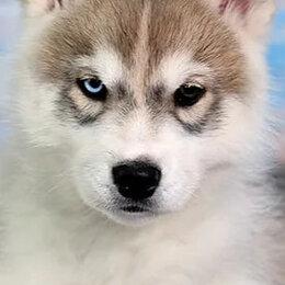 Собаки - Хаски РКФ, 0