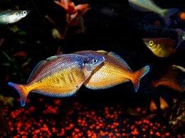Аквариумные рыбки - Хилатерина радужница Фасциата Клируотер Крик, 0