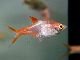 Аквариумные рыбки - Расбора клинопятнистая золотая, 0