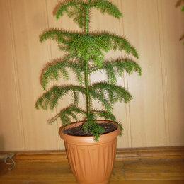 Комнатные растения - Араукария домашняя, 0