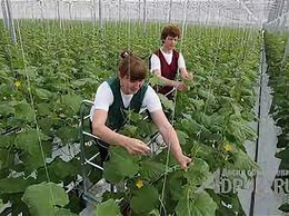 Разнорабочие - Требуются: Овощеводы в агрохолдинг, 0