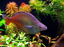 Аквариумные рыбки - Хилатерина радужница Блехера, 0