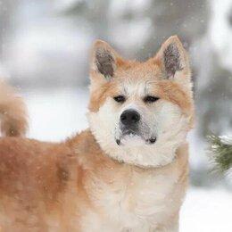 Собаки - Красавец Самурай — акита ину в дар, 0