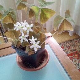 Комнатные растения - Оксалис, 0