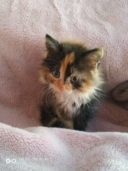 Кошки - Пушистые котята девочки , 0