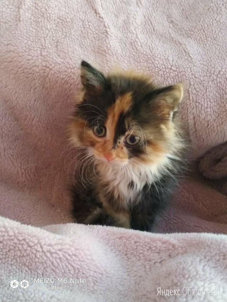 Пушистые котята девочки  по цене даром - Кошки, фото 0
