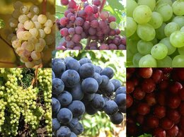 Рассада, саженцы, кустарники, деревья - Продажа саженцев винограда из питомника в…, 0