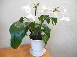 Комнатные растения - Эухарис (Амазонская лилия), 0
