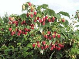 Рассада, саженцы, кустарники, деревья - Саженцы штамбовой малины (малиновое дерево) Глен…, 0