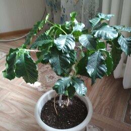 Комнатные растения - Кофейное дерево, 0
