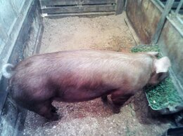 Сельскохозяйственные животные - Хряк на случку, 0