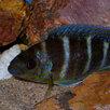 Периссодус Страелени по цене 450₽ - Аквариумные рыбки, фото 2