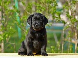 Собаки - Щенки лабрадора , 0